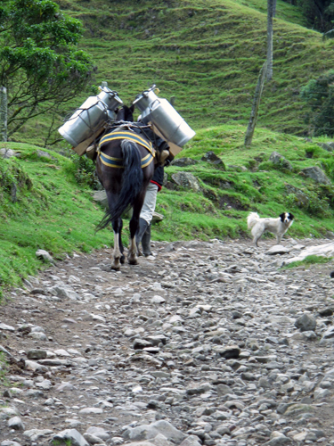 Milk delivery by mule