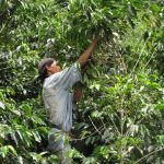 Coffee cultivation is demanding
